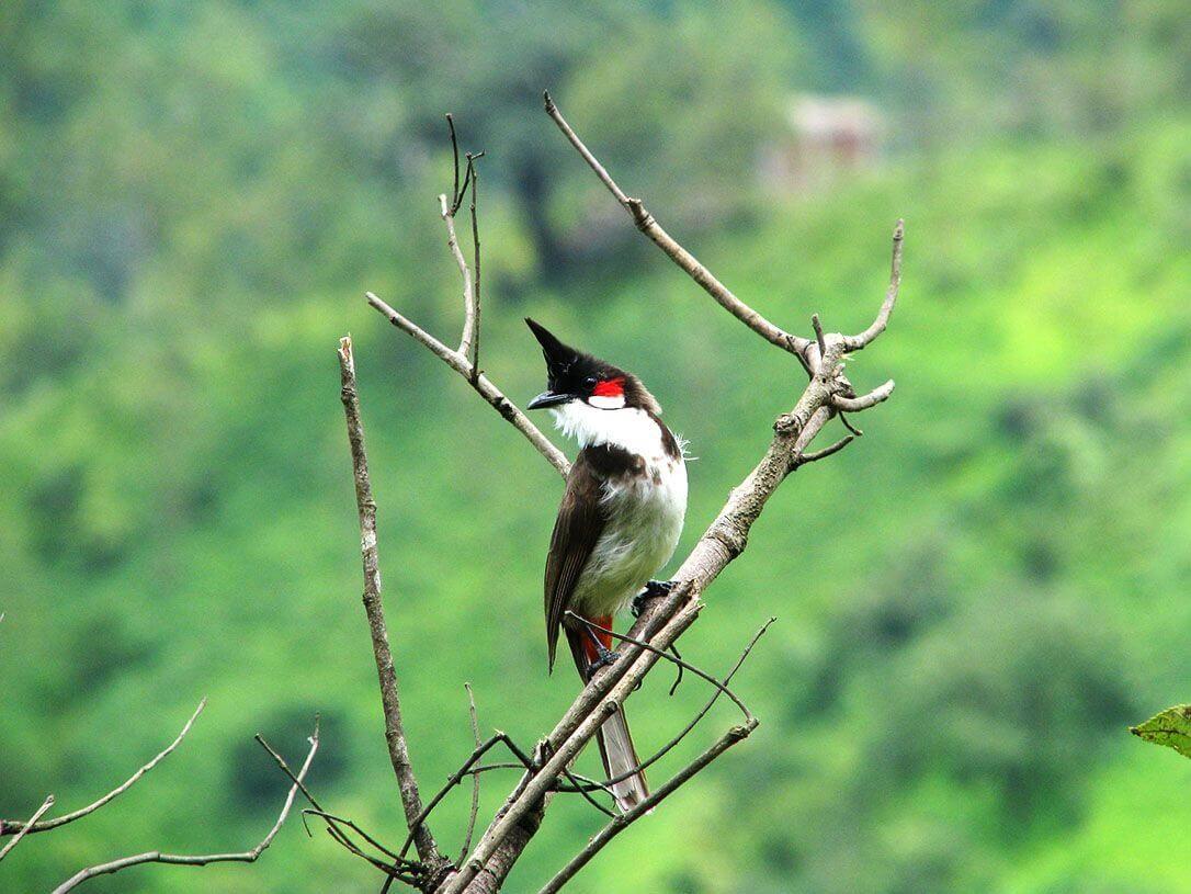 Cách bẫy chim chào mào bằng hoa quả