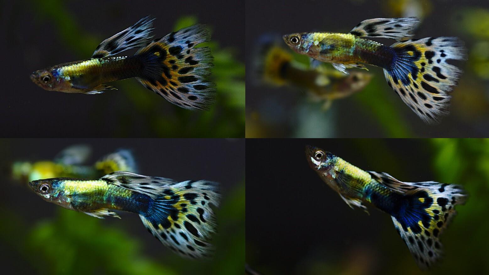 Cá bảy màu bị bệnh đốm trắng