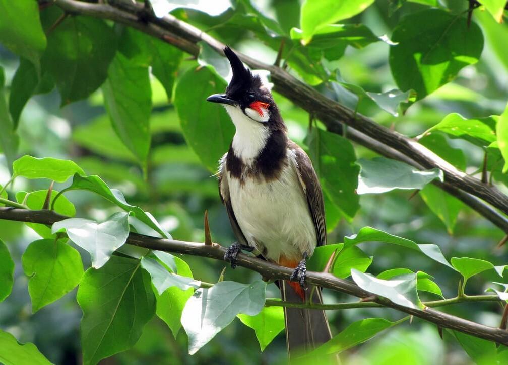 Chim chào mào thay lông nên cho ăn gì?