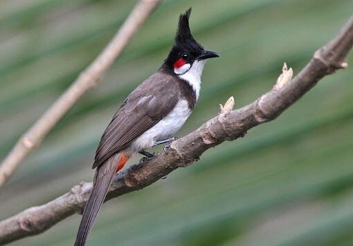 Những yếu tố ảnh hưởng đến chim chào mào thay lông