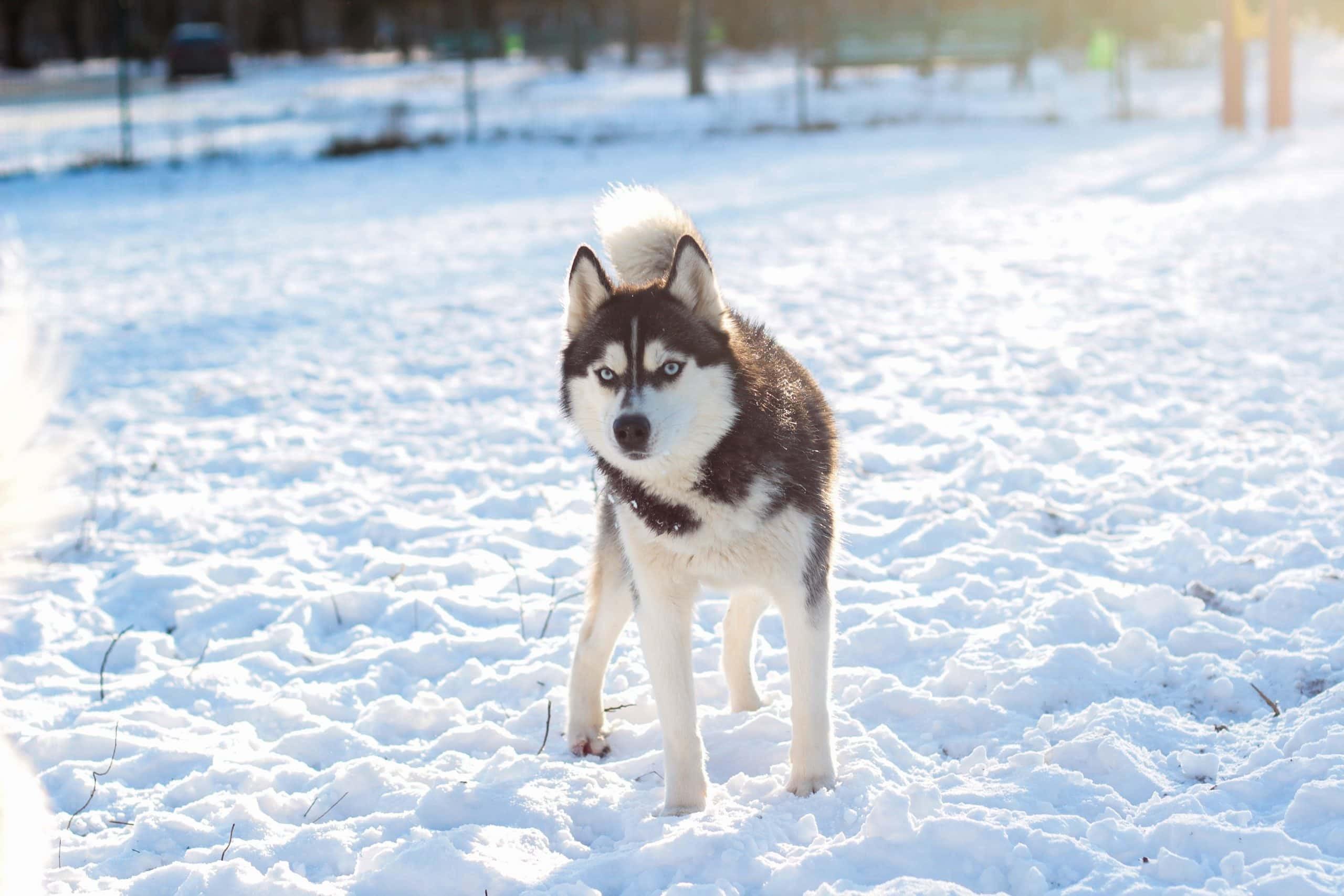 Nguồn gốc củagiống chó alaskan malamute