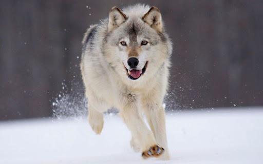 Tính cách của Alaska malamute