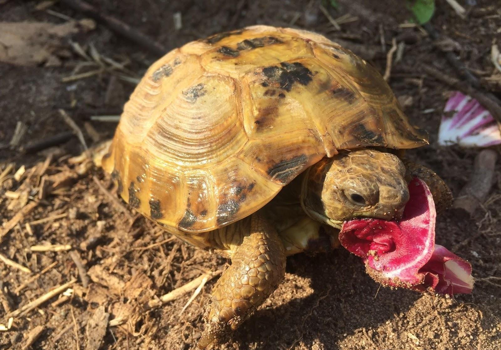 Rùa Nga khá dễ nuôi