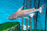 Cá mập nước ngọt ăn gì để mau lớn, phát triển, khỏe mạnh mỗi ngày