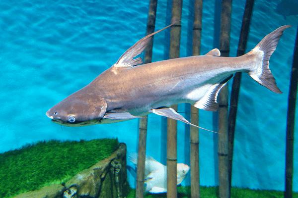 Đặc điểm nổi bật của cá mập cảnh