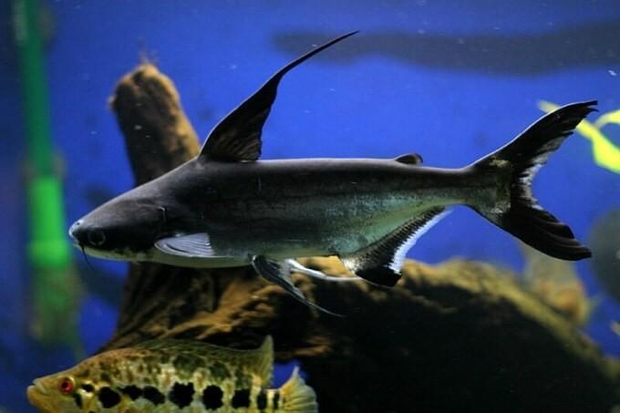 Một số lưu ý về cá mập cảnh