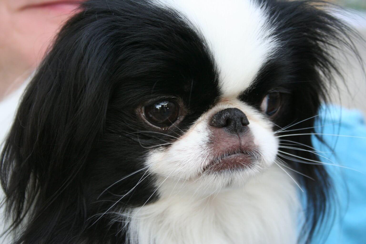 Chó Nhật Chin