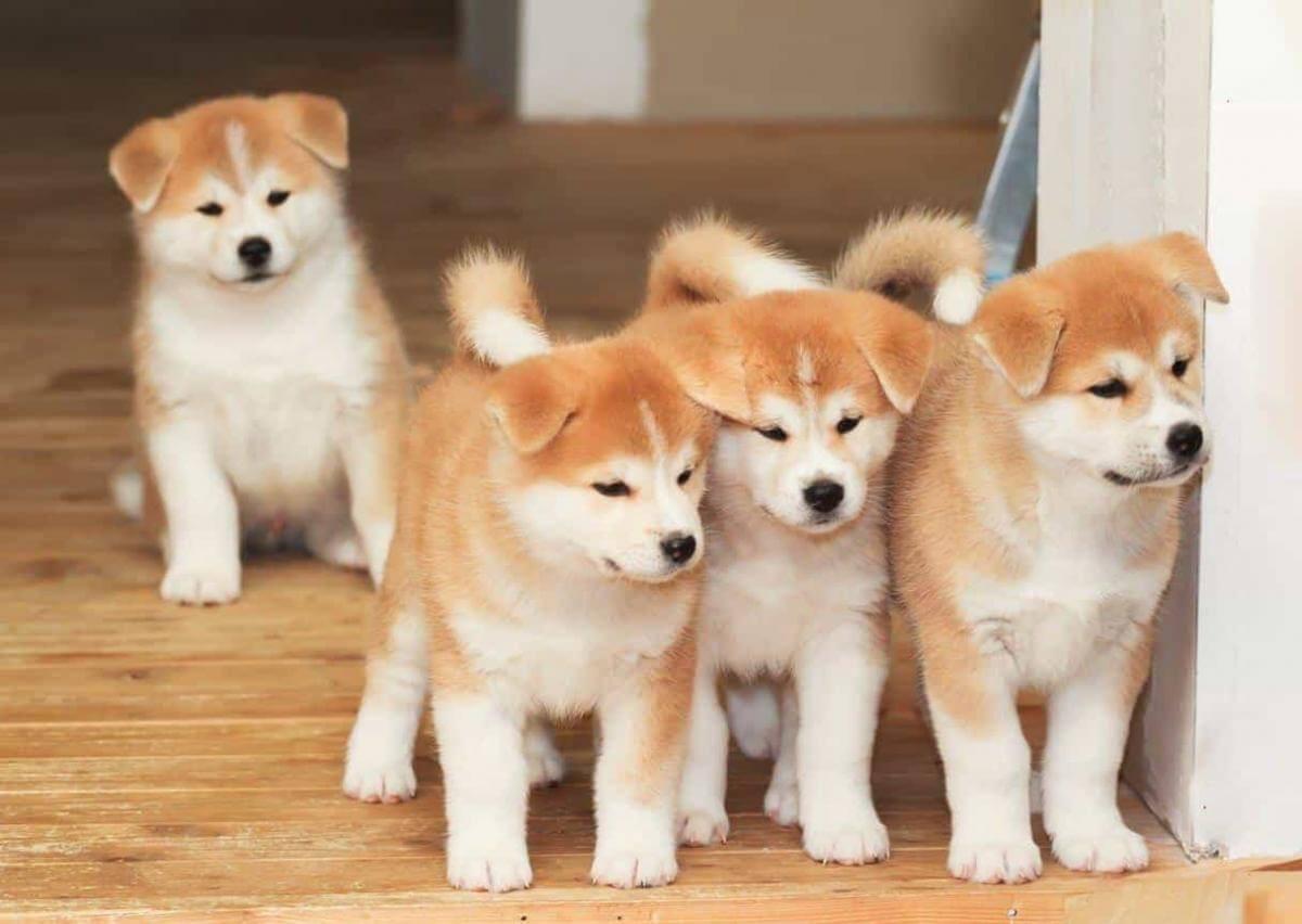 Chó Nhật Akita
