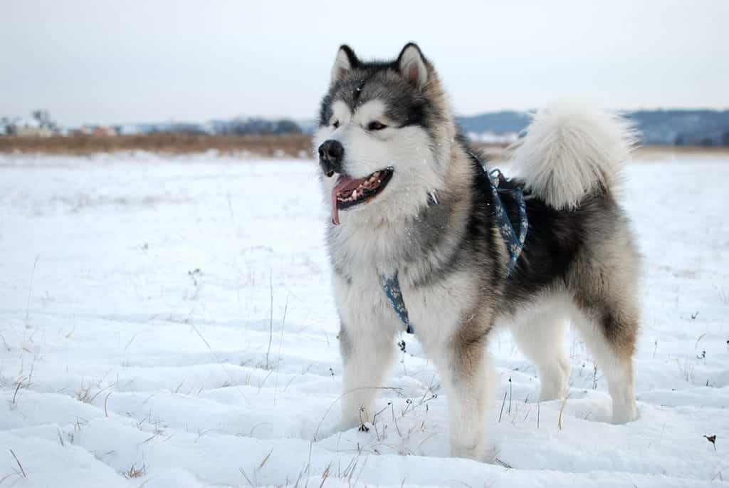 Chó Alaska quen sống trong môi trường nhiệt độ thấp