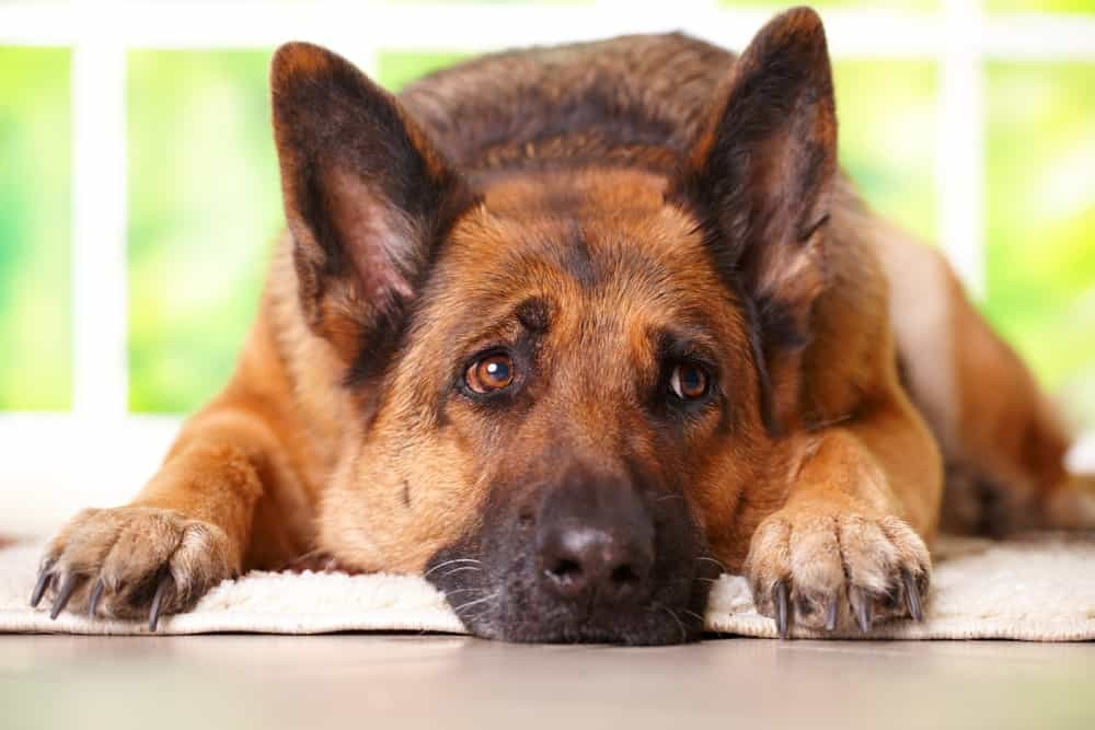 Tuổi thọ trung bình của chó Becgie thường khoảng 10 - 12 năm
