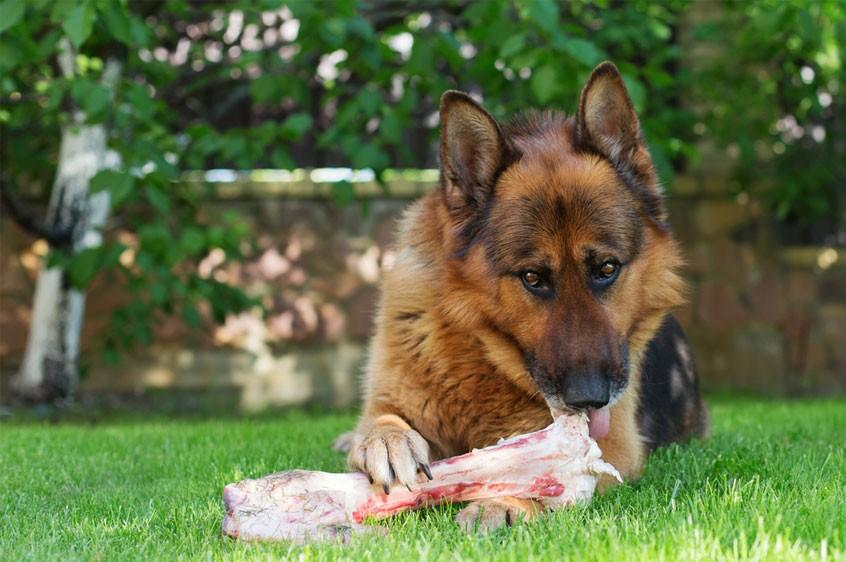 Protein là chất dinh dưỡng cần thiết cho sự phát triển của các chú chó Becgie