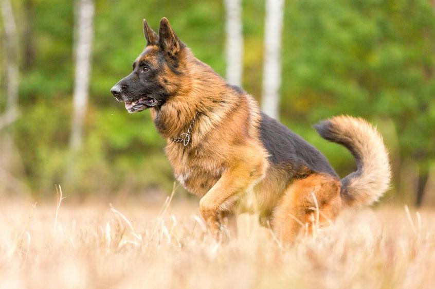Chọn những chú chó có bước chạy nước kiệu nhẹ nhàng thanh thoát