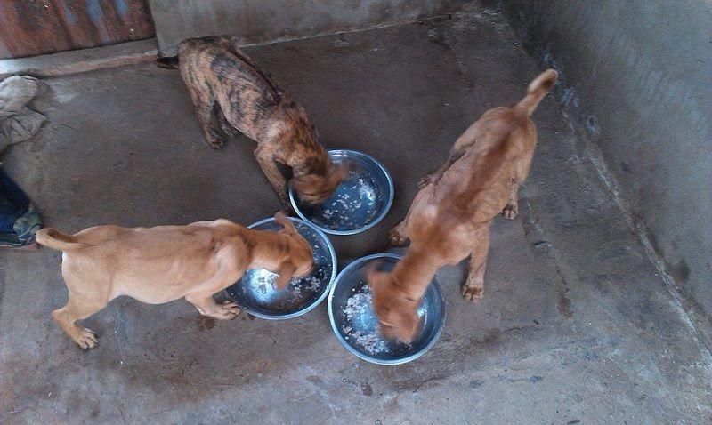 Chó Phú Quốc không hề kén ăn