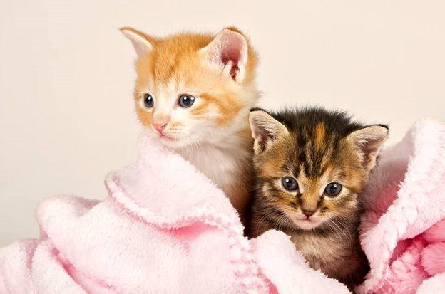 Dùng khăn bông để giữ ấm cho các bé mèo