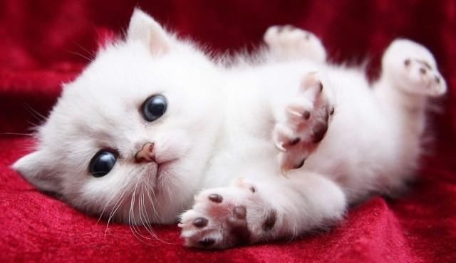 Cách nuôi mèo con như nào?