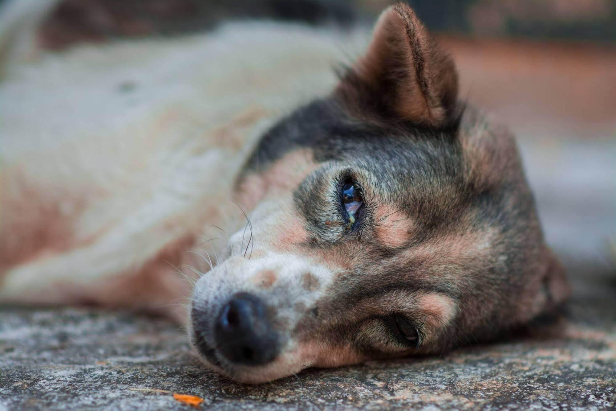Chó nôn ra bọt trắng do thời tiết mà môi trường