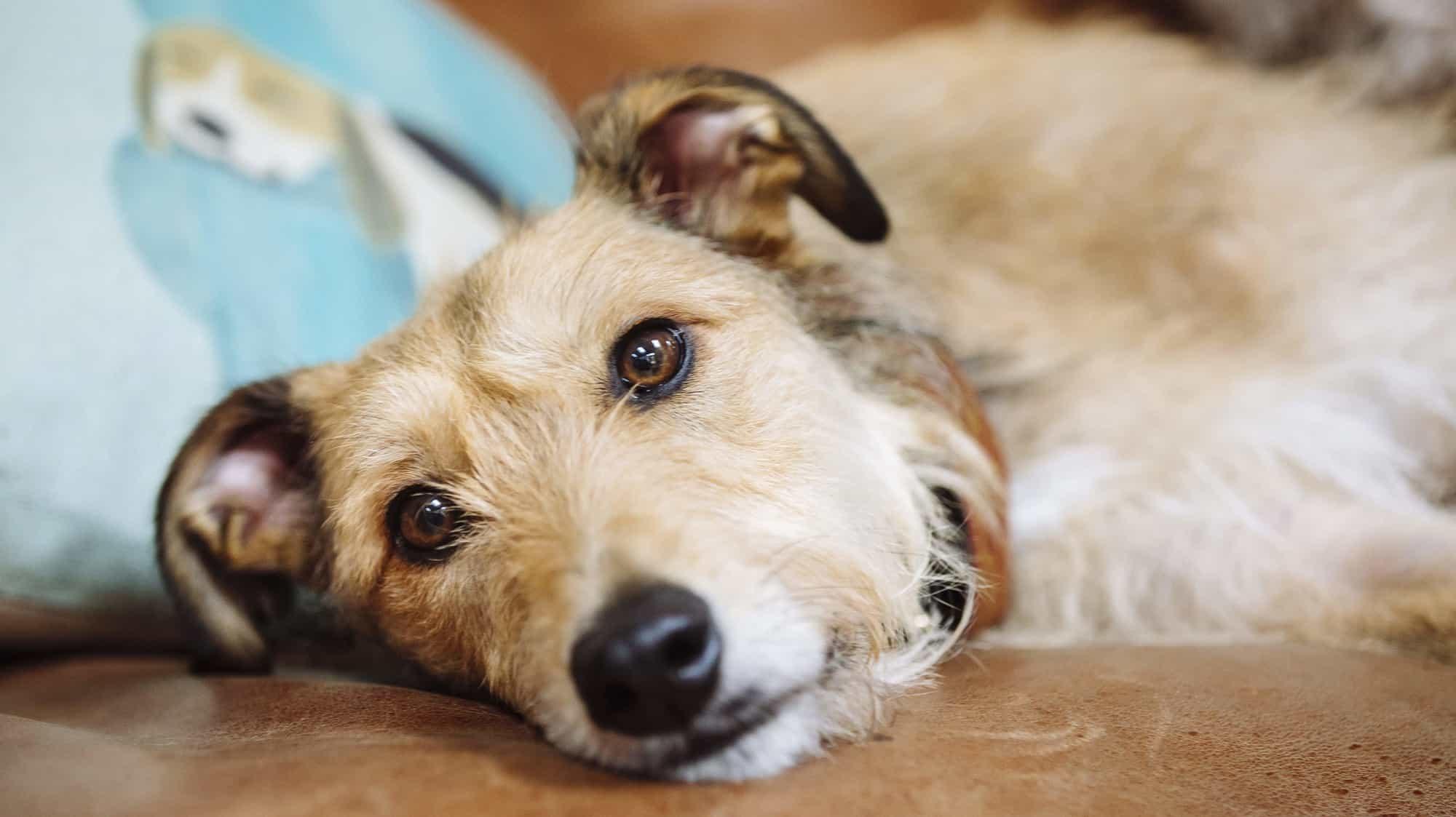 Chó nôn ra bọt vàng có nguy hiểm hay không