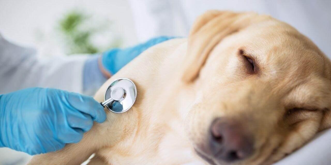 Chó bỏ ăn nôn dịch vàng cần xử lý như thế nào