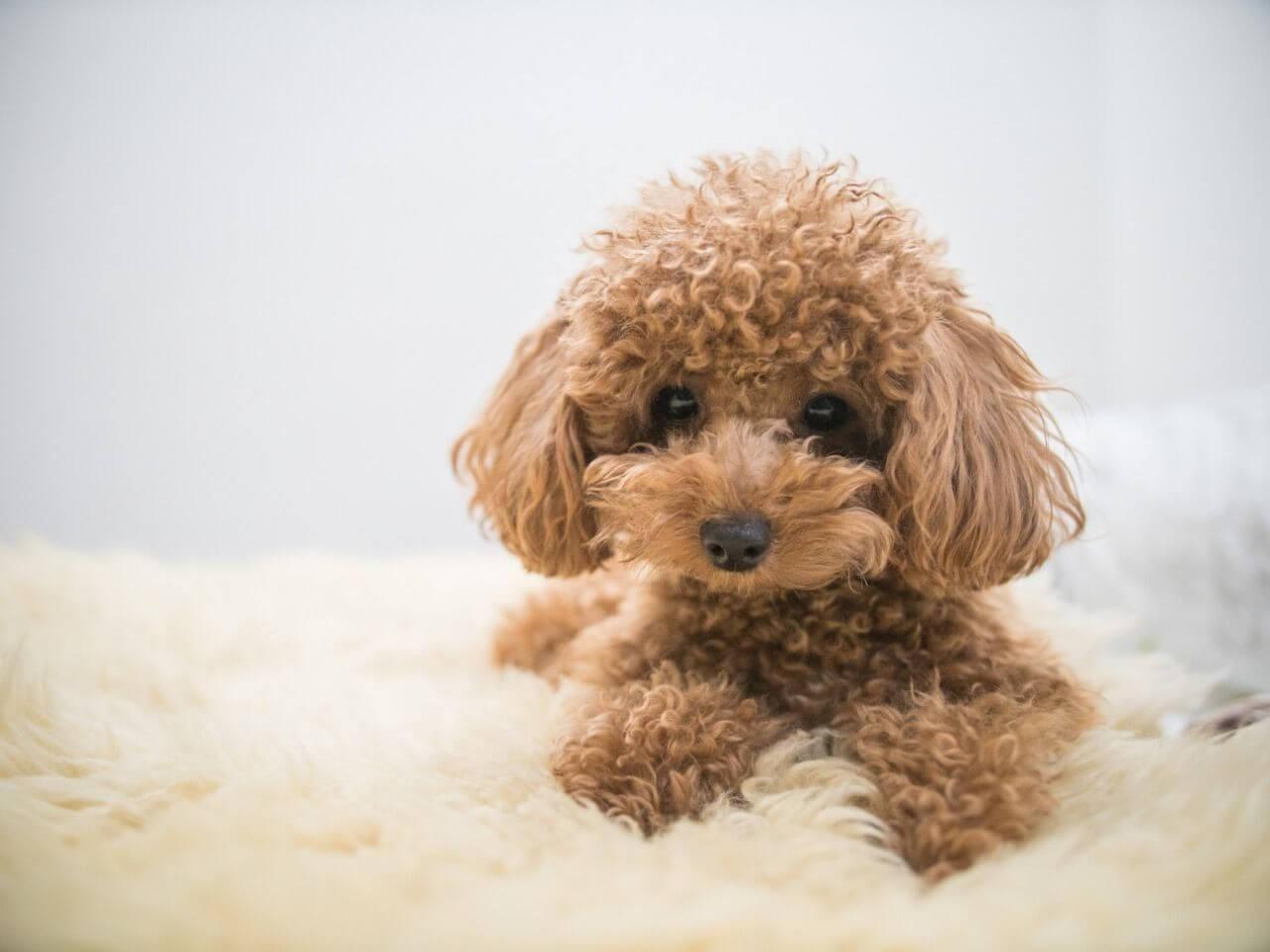Loài chó Poodle đáng yêu