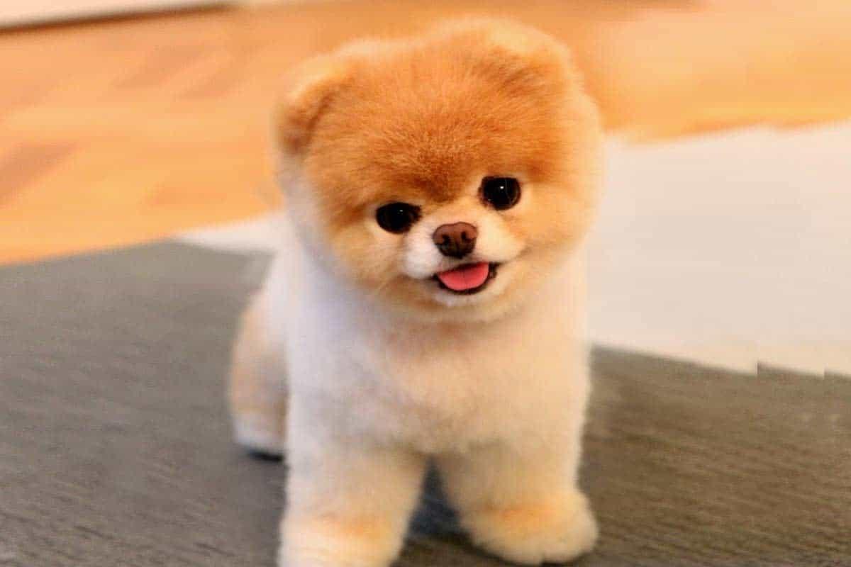 Giống chó khôn Pomeranian