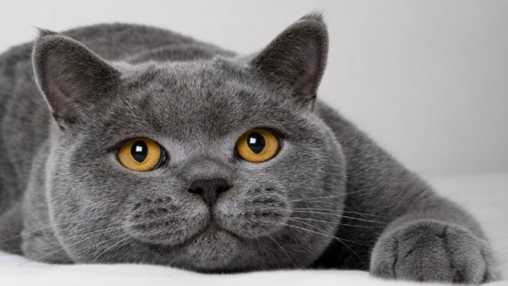 Mèo Bicolor thường mắc bệnh gì?