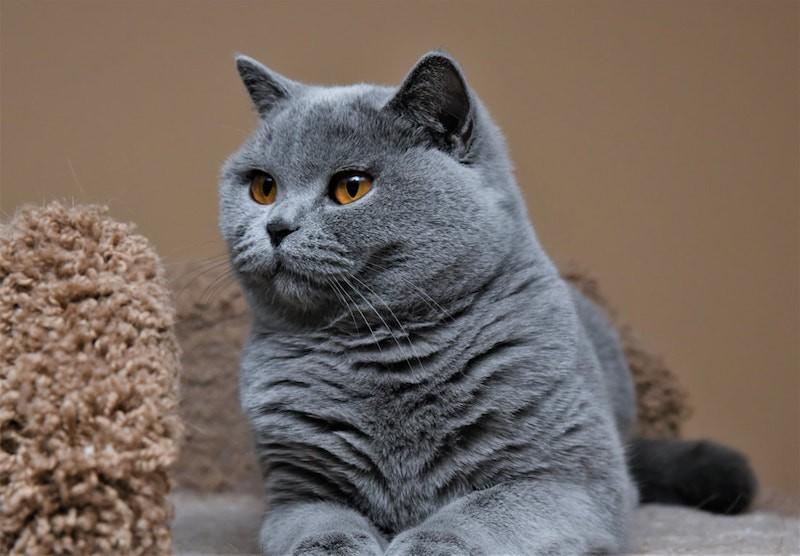 Mèo Bicolor có nguồn gốc từ đâu?