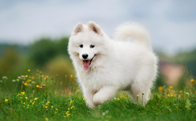 Con số may mắn khi nằm mơ thấy chó trắng là 52, 57