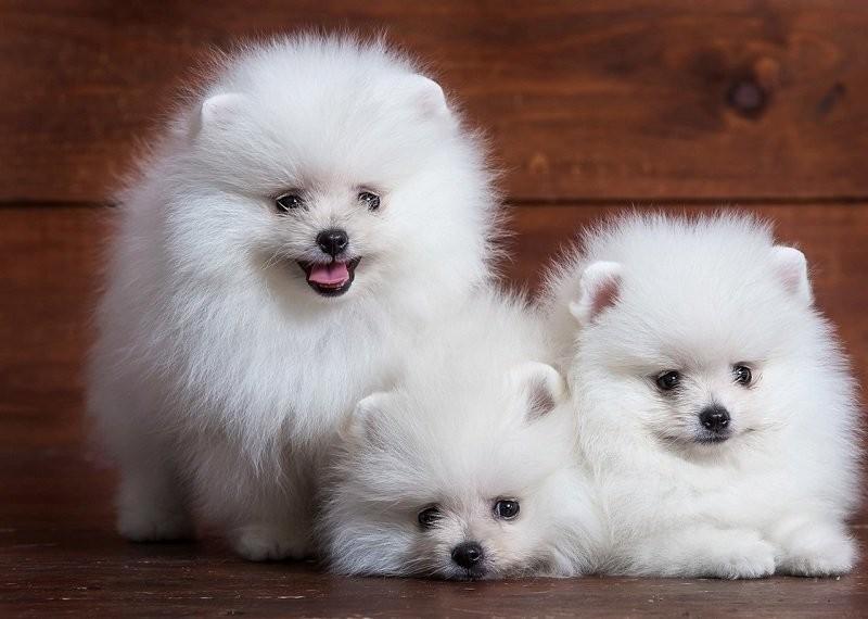 Chó Phốc chúng rất phù hợp với một không gian sống nhỏ