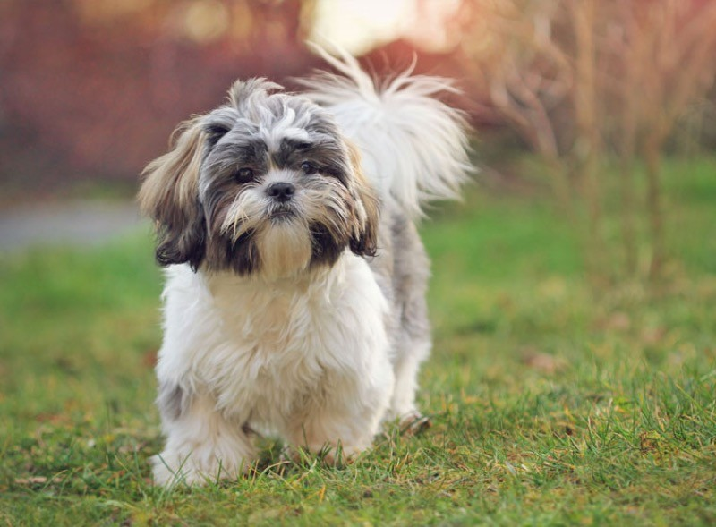Chó Shin Tzu