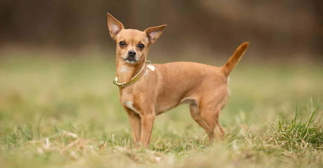 Chihuhua là giống chó nhỏ