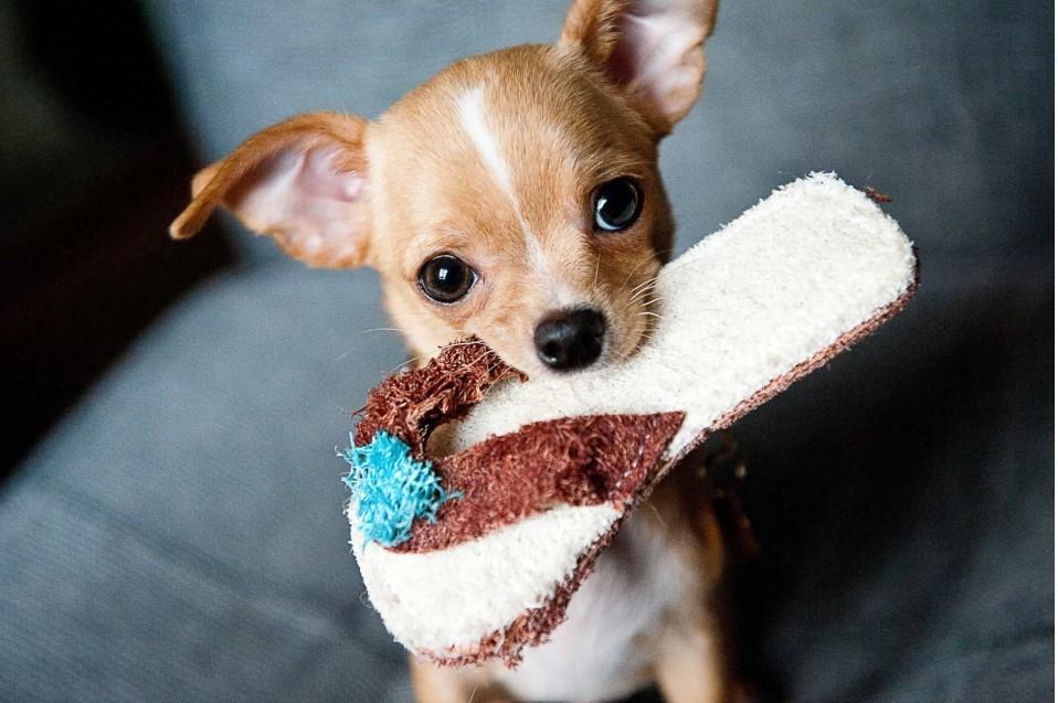 Chihuahua có vóc dáng nhỏ bé nhất thế giới