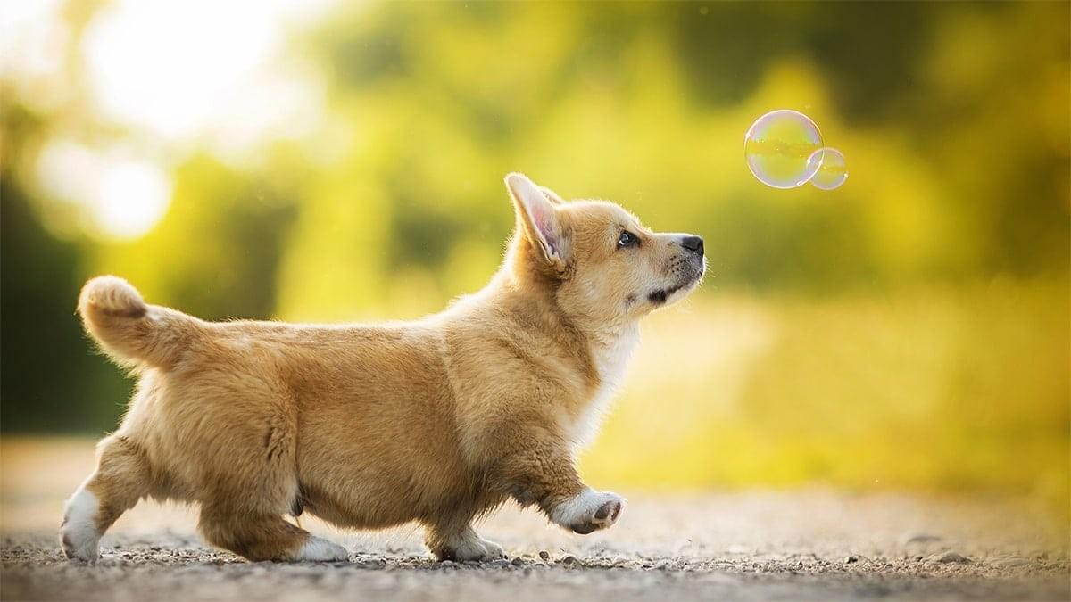 Corgi là giống chó vô cùng đáng yêu