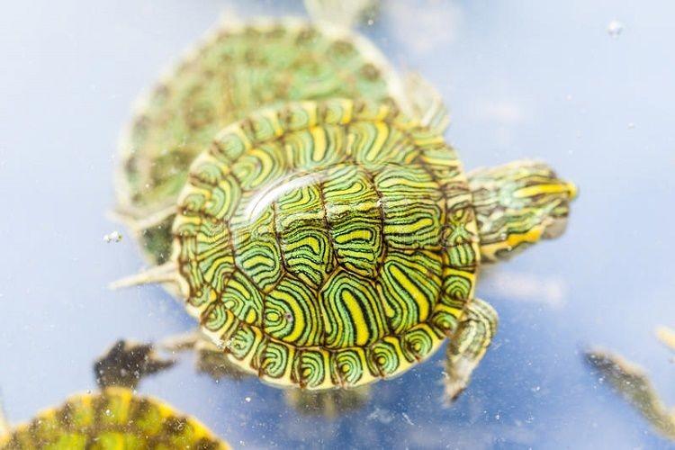 Trên mình các con rùa đều mang bản đồ tử vi