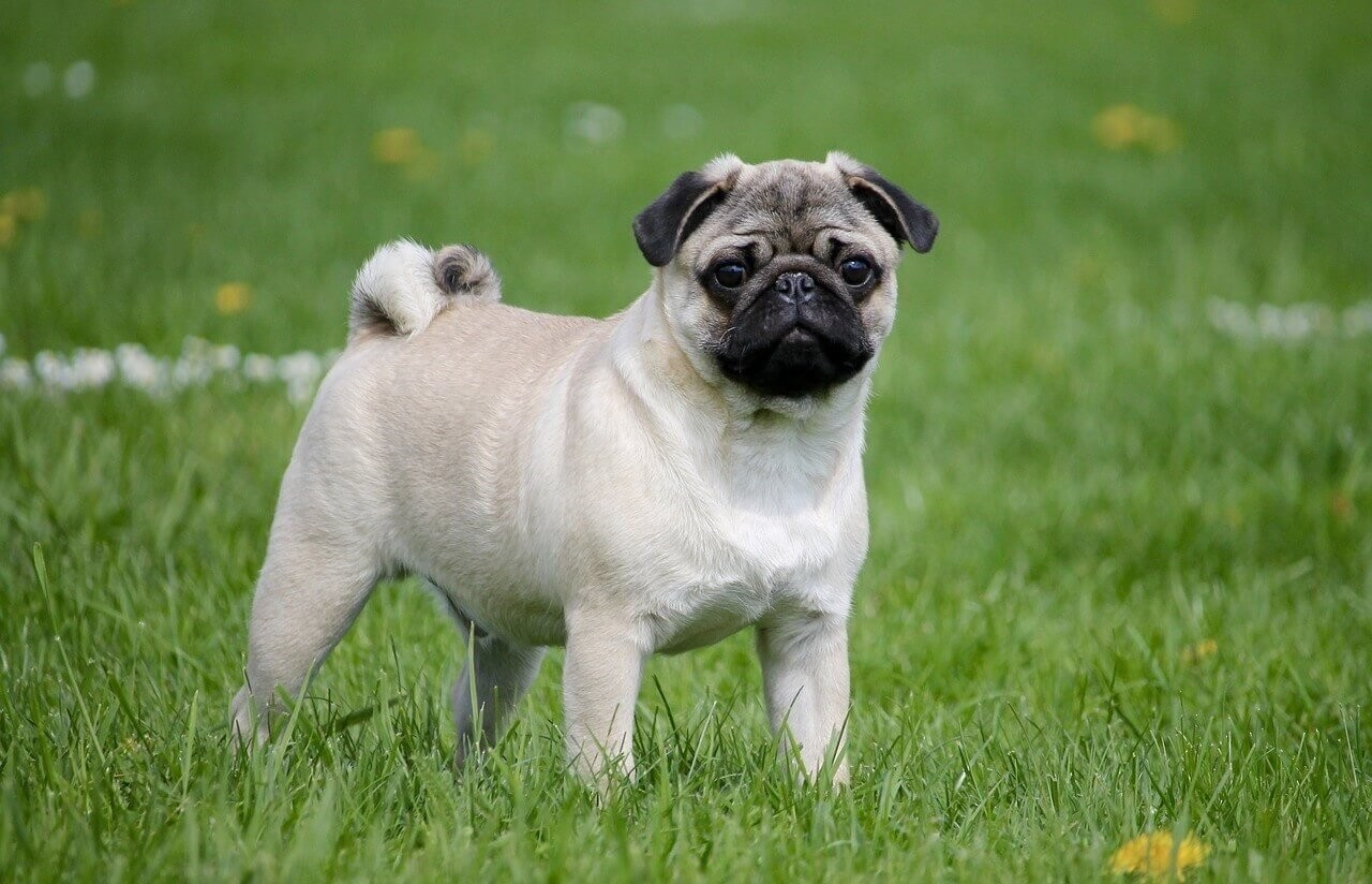 Phương pháp phối giống cho chó In-breeding