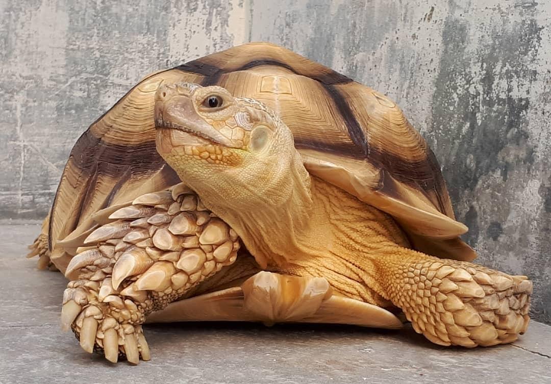 Thực trạng của rùa núi vàng hiện nay