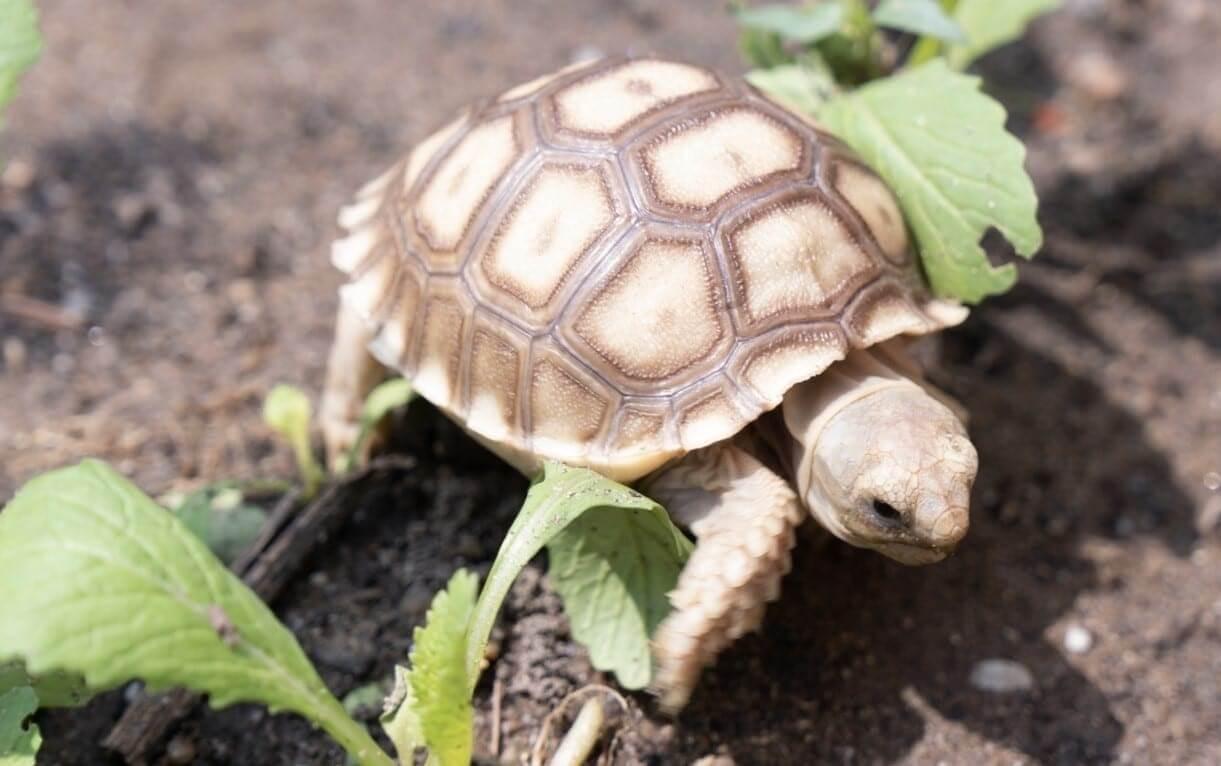 Kích thước và cân nặng đặc trưng của rùa cạnsulcata