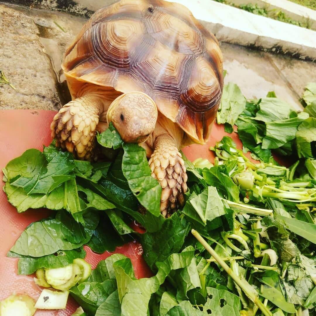 Thức ăn nào cần bổ sung cho rùa sulcata