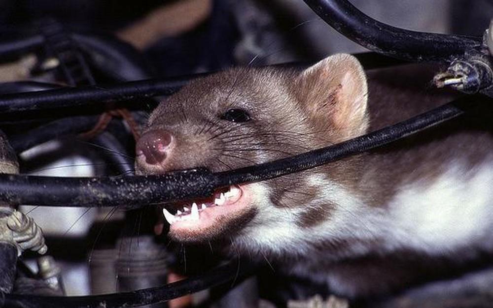 Dây điện có thể bị đứt gãy do chuột cắn dẫn đến điều hòa không thể hoạt động bình thường