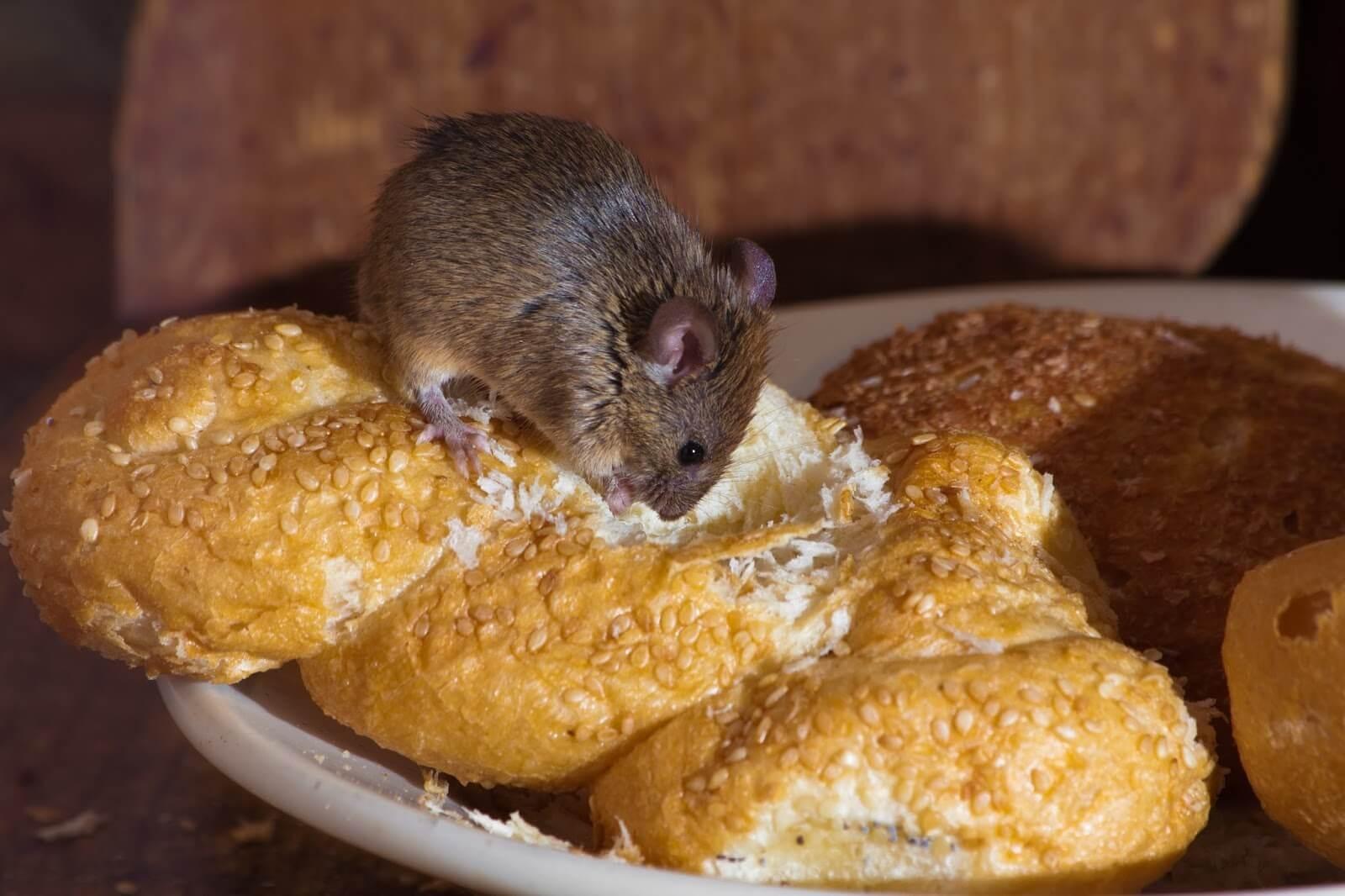 Chuột luôn cắn phá những vật dụng trong nhà