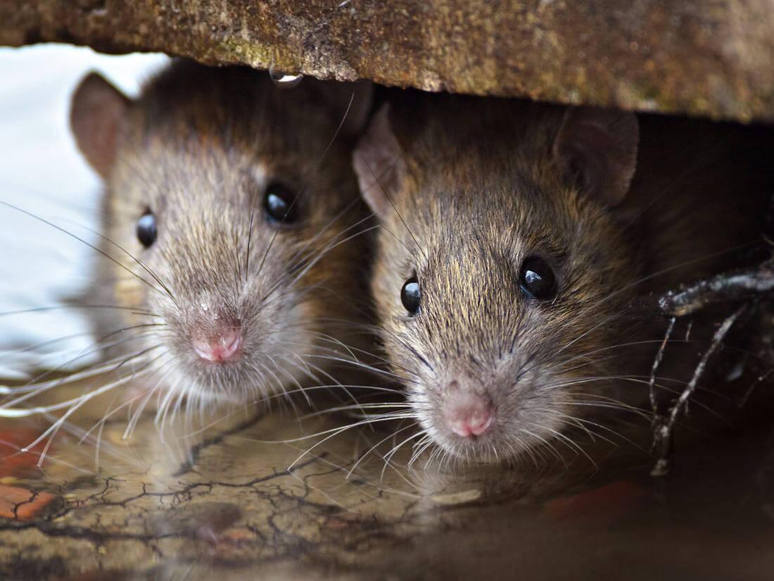 Dịch hạch là bệnh khá nguy hiểm, đực truyền từ chuột sang con người