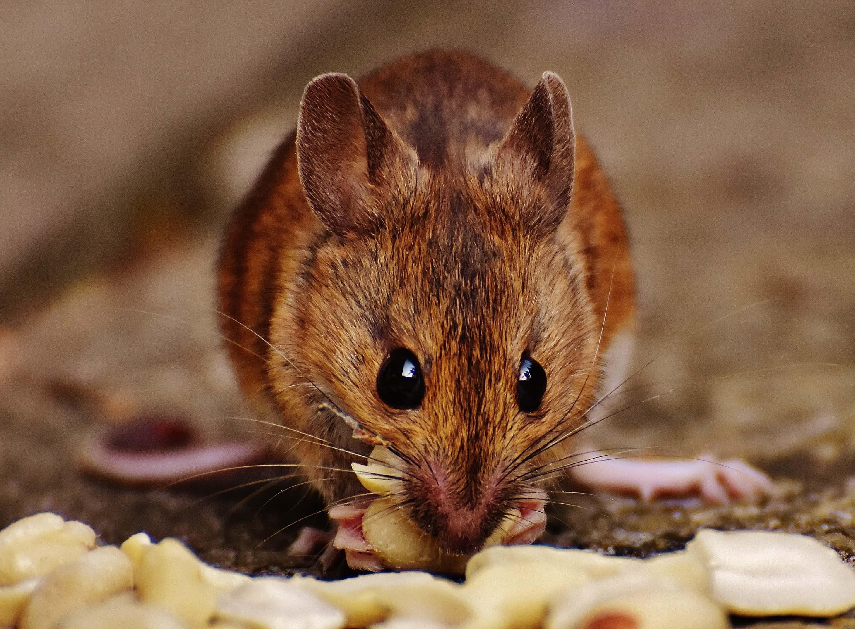 Vết cắn chứa nước bọt của chuột gây bệnh sốt chuột cắn