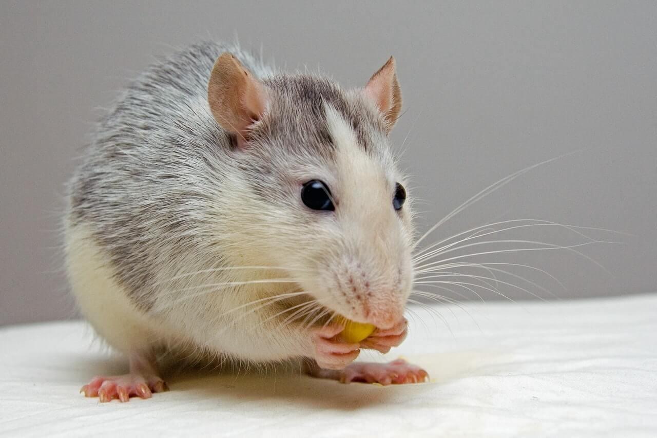 Chuột hay gặm nhấm và gây thiệt hại cho con người