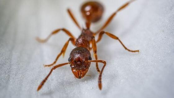 Cách đuổi kiến hôi trong nhà bằng tiêu đen