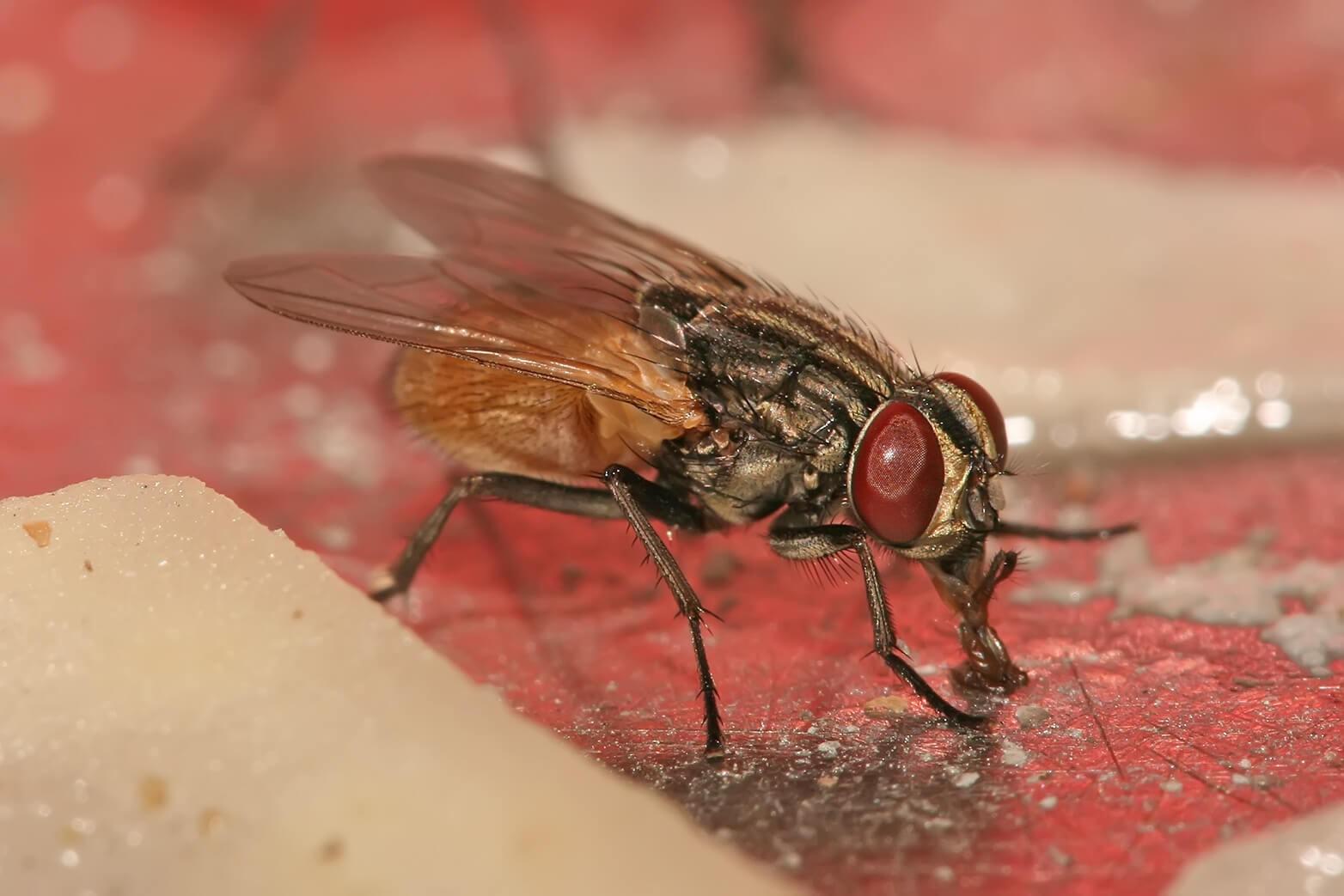 Những tác hại mà ruồi để lại cho con người, cuộc sống