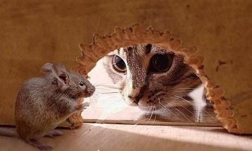 Chuột sợ mùi gì nhất? 8 cách đuổi chuột ra khỏi nhà hiệu quả từ thiên nhiên