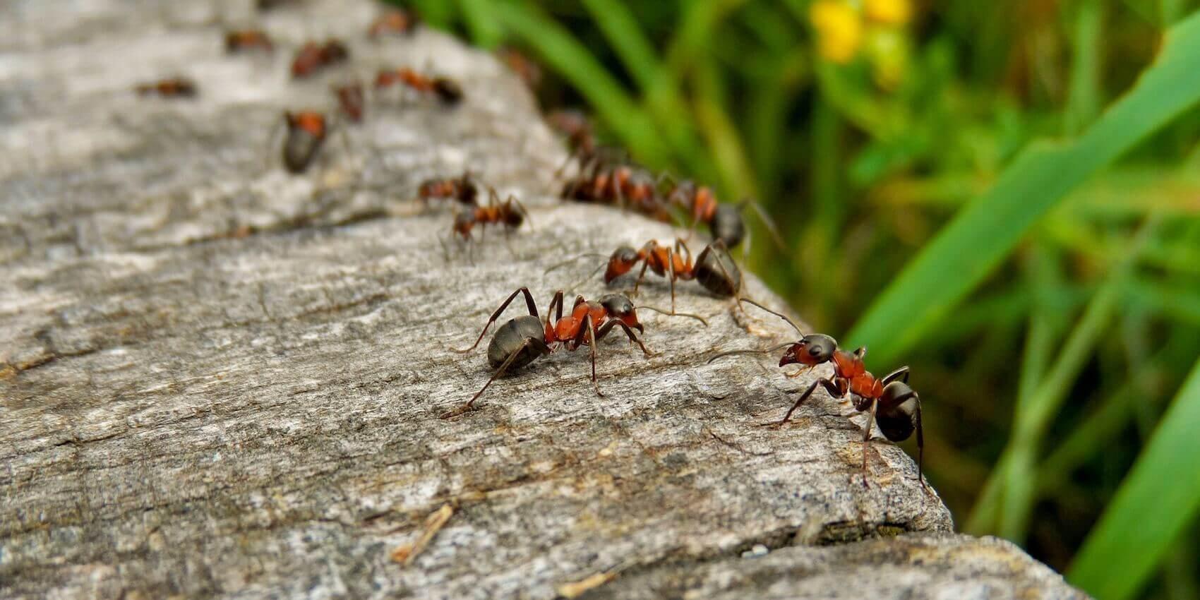 Sử dụng thuốc diệt kiến cho cây trồng