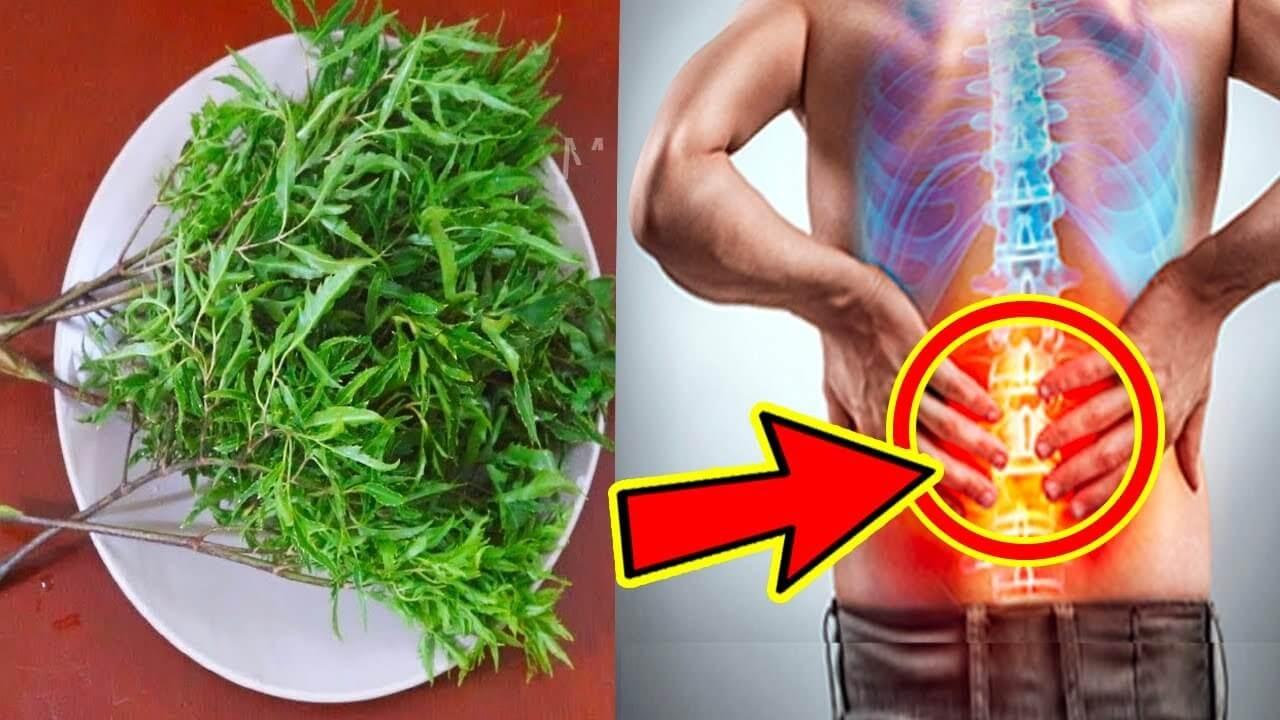 Các bài thuốc tốt cho sức khỏe từ cây đinh lăng