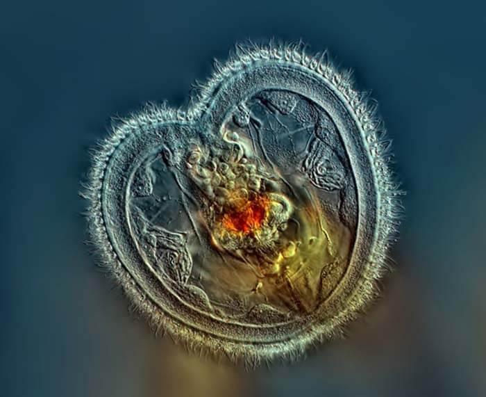 Luân trùng hình trái tim nhỏ xíu đang mở miệng