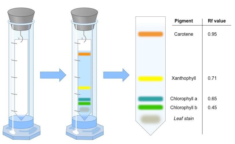 Tổng quan về sự phân tách sắc tố của sắc tố quang hợp