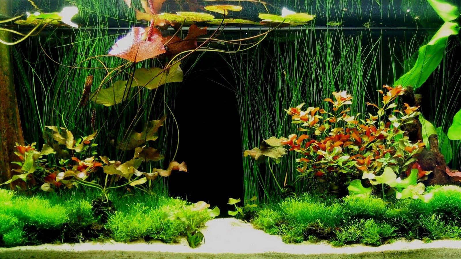 Dớn lan sẽ giúp làm giảm độ pH trong bể cá